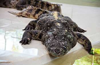 Crocodile farm in Phuket photo №17