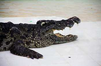 Crocodile farm in Phuket photo №28